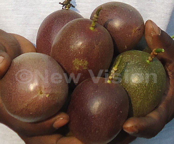 ome of the passion fruits from waha akoozas garden hoto by mar subuga