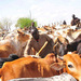 Waterbuck perfumes can put off tsetse fly in cows