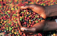 Uganda prepares for first international coffee auction