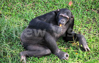 Uganda biodiversity fund gives 360m for chimps and livelihood