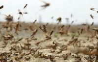 Destructive locust swarms arrive in Uganda