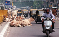 India's top court says no to national ban on cow slaughter
