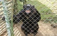 Oldest Known Ugandan Chimpanzee dies at 54