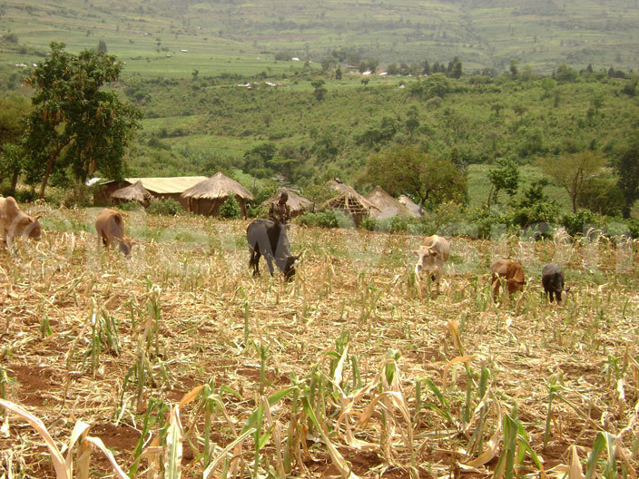 man grazes cattle in withering maize crops due prolonged drought in ukwo district in 2009 hotoerald enywa                                    man grazes cattle in withering maize crops due prolonged drought in ukwo district in 2009 hotoerald enywa