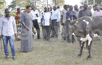 Kalungu farmers recieve 100 friesian cows