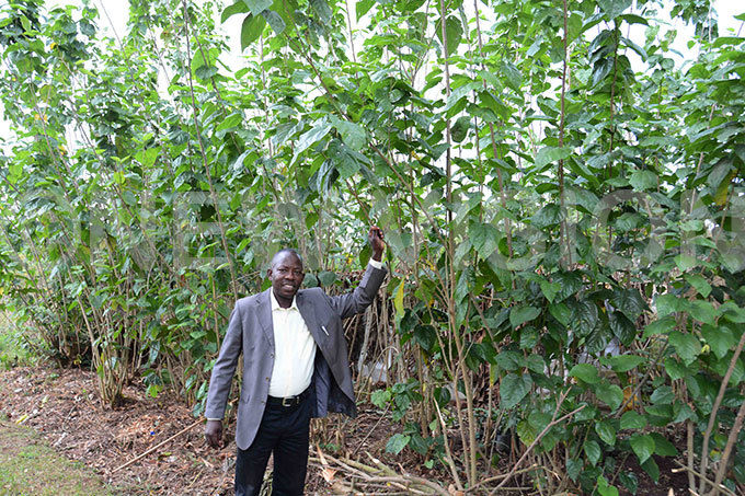 enior entomologist at ministry of agriculture enry ule shows the mulberry plants at ericulture entre in awanda
