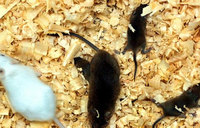 Scientists make sperm from mouse stem cells