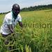 Sasakawa Global to help rice farmers boost production