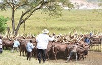 Museveni milks cash from his cows