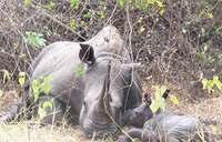 Population of rhinos now 22