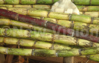 Sugarcane price remains high