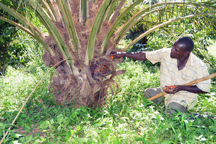 esire samba igguundu also a palm oil tree out grower harvesting ripe palm oil from his garden