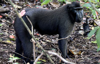 The monkey threatened by hunger for its meat
