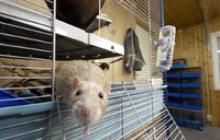 Study on pesticides in lab rat feed causes a stir