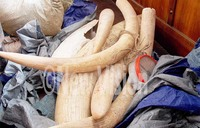 Man fined sh5m over illegal possession of ivory