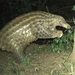 New footage released of rare giant pangolins in Uganda