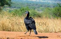 The loving Hornbill