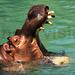 Hippo kills 13 cows in Buyende