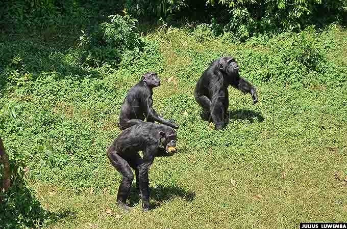 himpanzees are fed more than three times everyday at gamba sanctuary