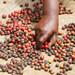 Uganda's coffee exports drop
