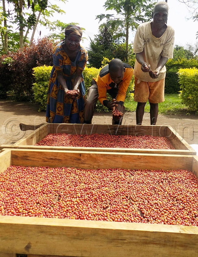 abeja and family based in woya district show off the coffee harvest which they hope to sell soon