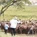 Museveni milks cash from his cows