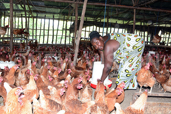 melda isa akibuule one of the lead farmers in awumu odel illage shows birds she has been rearing that were provided by resident useveni