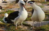 Oldest known seabird lays an egg at 66