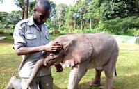 Baby Elephant  saved, taken to UWEC