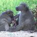 Kiryandongo man accused of selling baboon meat
