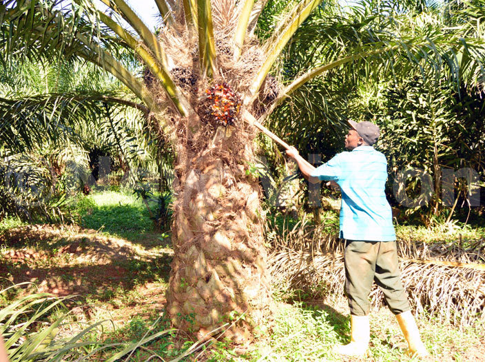 alm oil tree out grower am utawonga harvest palm oil fruits from his garden