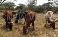 180 sick cattle sold in Kampala