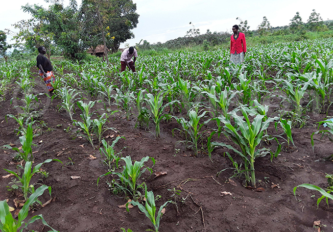 garden with maize in planting basins hoto by rossy andudu