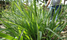 You can earn from growing lemon grass at home