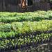 Soroti leader warns against fake seedlings