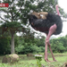 Did you know ostriches are the largest birds on earth