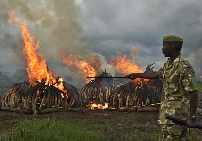 enya ildlife ervices  rangers stand guard around illegal stockpiles of burning elephant tusks ivory figurines and rhinoceros horns at the airobi ational ark  hoto