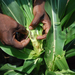Panic in farming districts over caterpillar outbreak