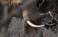Thai ivory boom ''fuelling Africa elephant crisis''
