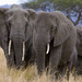 Elephants in Tanzania reserve could be wiped out by 2022