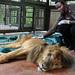 Kibonge: Entebbe zoo's oldest lion dies