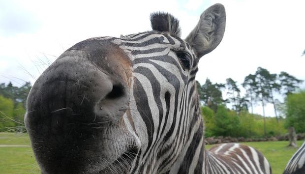 zebra-111383-640
