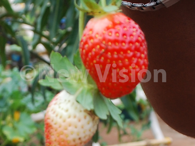 trawberries are recommended for a healthy diet hoto by mar subuga