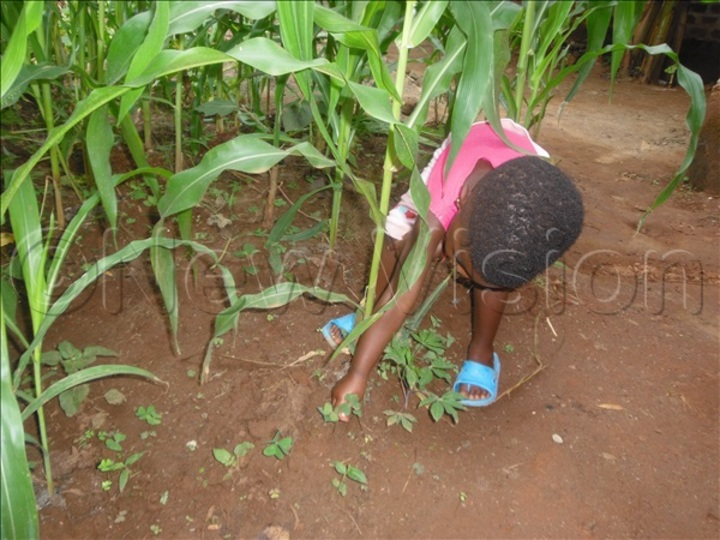 A child weeding in a garden of maize