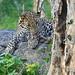Key leopard population 'crashing', study warns