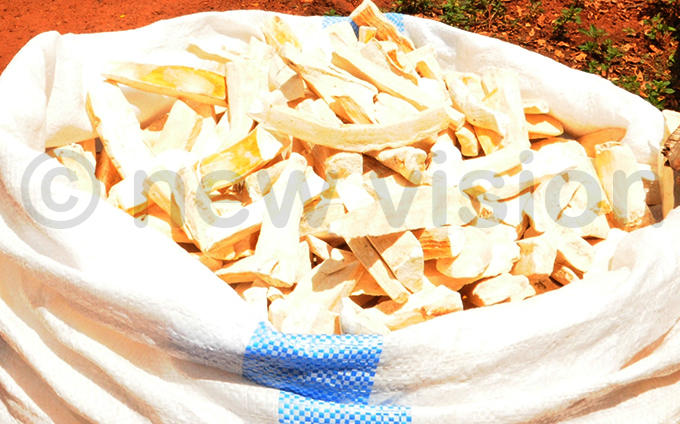 senoga expects to harvest 1012 bags of cassava hoto by mar subuga