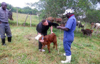 Museveni's beef multiplication project gains momentum
