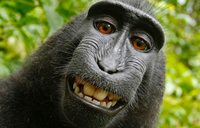 Court rules monkey does not own selfie copyright