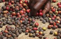 Uganda coffee exports up 7 percent