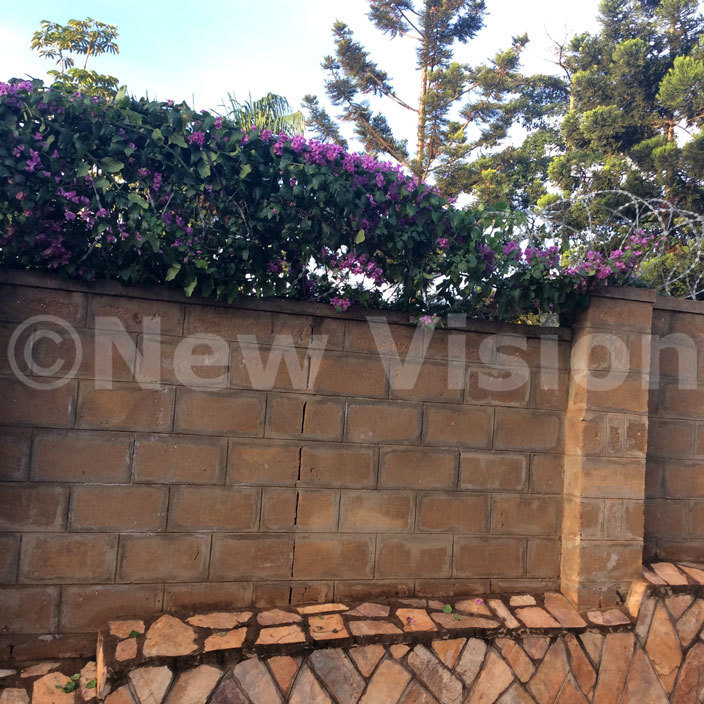 urple bougainvillea growing on top of the wall